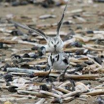 Sanderling (15)