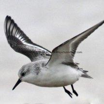 Sanderling (19)