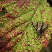 Sciomyzidae fly (marsh fly or snail-killing fly) (Coremacera marginata) (2)