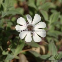 Sea Campion (Silene uniflora) (1)