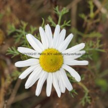Sea Mayweed (Tripleurospermum maritimum) (1)