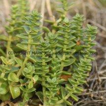Sea Sandwort, Sea Chickweed (Honckenya peploides) (1)