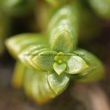Sea Sandwort, Sea Chickweed (Honckenya peploides) (2)