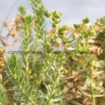 Sea Spurge (Euphorbia paralias) (2)