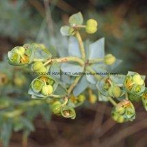 Sea Spurge (Euphorbia paralias) (3)