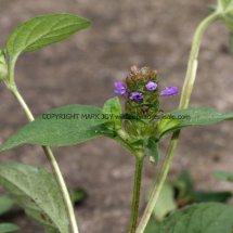 Selfheal (Prunella vulgaris) (1)