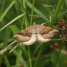 Shaded Broad-bar moth