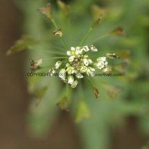 Shepherd's-Purse (Capsella bursa-pastoris) (1)