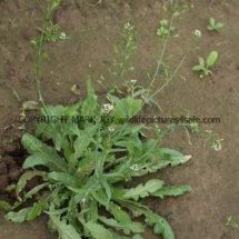 Shepherd's-Purse (Capsella bursa-pastoris) (2)