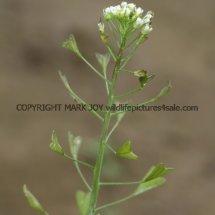 Shepherd's-Purse (Capsella bursa-pastoris) (3)