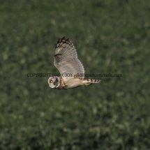 Short Eared Owl (1)