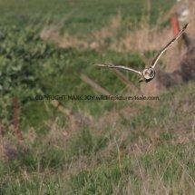 Short Eared Owl (3)
