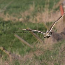 Short Eared Owl (2)