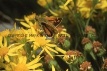 Silver Spotted Skipper (4)