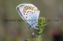 Silver Studded Blue (4)