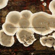 Skeletocutis nivea Hazel Bracket Crust fungus Hartslock Nature Reserve 12.2.2017 (2)