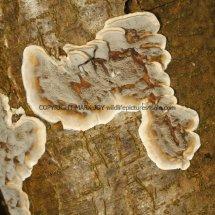 Skeletocutis nivea Hazel Bracket Crust fungus Hartslock Nature Reserve 12.2.2017 (4)