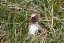 Small Mountain Ringlet 1 (1)