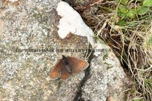 Small Mountain Ringlet 1 (2)