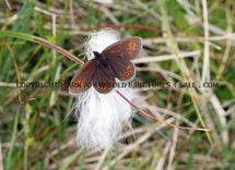 Small Mountain Ringlet 1 (3)
