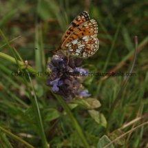 Small Pearl Bordered Fritillary (18)