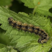 Small Tortoiseshell Caterpillar