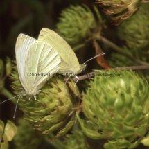 Small White (3)
