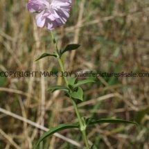 Soapwort (Saponaria officianalis) (1)