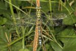 Southern Hawker (8)