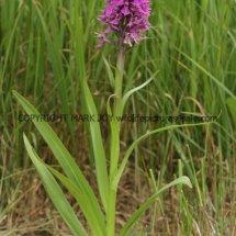 Southern marsh orchid (Dactylorhiza praetermissa) (14)