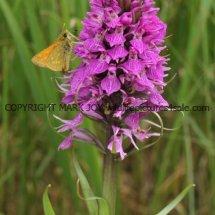 Southern marsh orchid (Dactylorhiza praetermissa) (1)