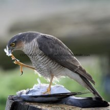 Sparrowhawk (13)