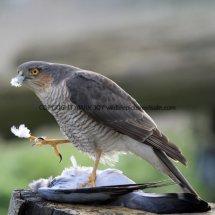 Sparrowhawk (14)