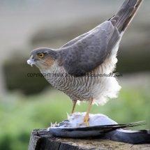 Sparrowhawk (17)
