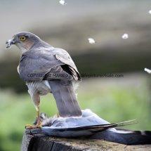 Sparrowhawk (1)