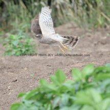 Sparrowhawk (10)