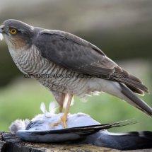 Sparrowhawk (4)