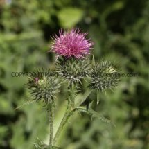 Spear Thistle (Cirsium vulgare) (1)