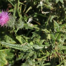 Spear Thistle (Cirsium vulgare) (2)