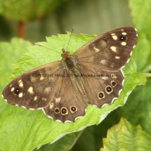 Speckled Wood (2)