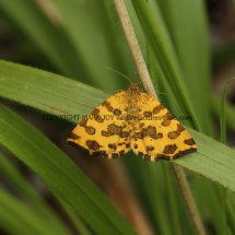Speckled Yellow moth (Pseudopanthera macularia)
