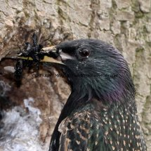 Starling (6)