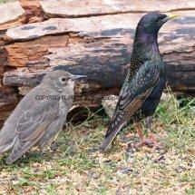 Starling 1
