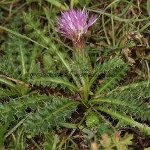 Stemless Thistle (2)