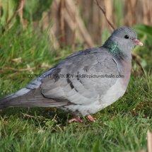 Stock Dove 1 (2)