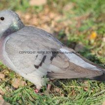 Stock Dove 1 (3)