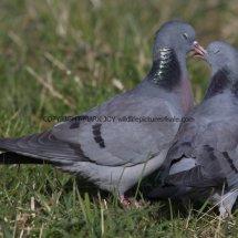 Stock Dove (2)