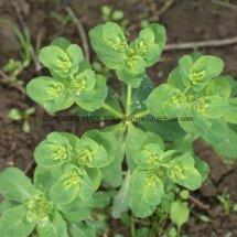 Sun Spurge (Euphorbia helioscopia) (2)