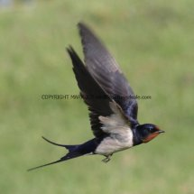 Swallow 1 (2)