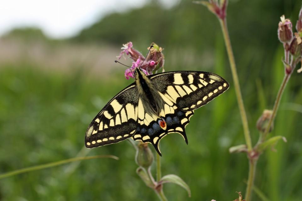 Swallowtail  (2)